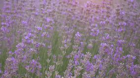 Lawendy pole przy pięknym wieczór, Provence, Francja zbiory