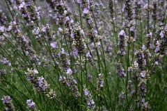 Lawendy pole w lecie w Provence, południowy Francja Zdjęcie Royalty Free