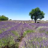 Lawendy pole w naturalnych cieniach Włochy 2017 Zdjęcie Stock