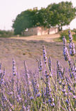 Lawendy pole z domem wiejskim i drzewami Provence, Francja Zdjęcie Stock
