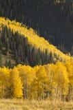Lawina Kolorowej jesieni Złoci Osikowi drzewa W Vail Kolorado obraz royalty free