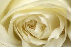 lawiny różę white Obraz Royalty Free