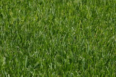 Lawn. Texture of lawn Stock Photos