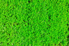 Lawn. A green vegetation of a grass Stock Photo