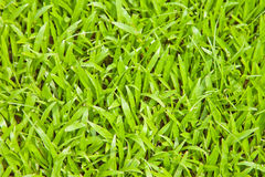 Lawn. Green lawn in Thailand for background Stock Photos
