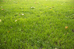 Lawn with autumn leaves Stock Photography