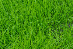 Lawn Background. Grass Royalty Free Stock Photography