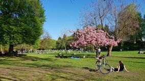 Lawn with blooning Japanese cherry in the Municipal Park in Pank Stock Image