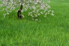 Lawn and blossoming cherry Royalty Free Stock Images