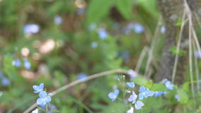 Lawn of blue flowers in the summer in the wood stock footage