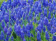 Lawn blue muscari Stock Images
