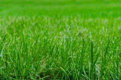 Lawn close up Royalty Free Stock Photography