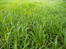 Lawn. Close up Lawn after rain Stock Photo