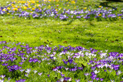 Lawn with colorful Crocus bloom Royalty Free Stock Photo