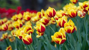 Lawn of colorful tulips in the spring Park stock images