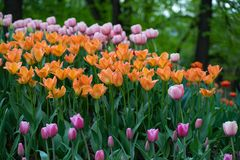 Lawn of colorful tulips in the spring Park royalty free stock photos