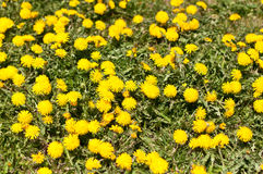 Lawn Covered with Dandelions. A green lawn is covered with lots of dandelions Stock Photo