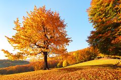 On the lawn covered with leaves at the high mountains there is a lonely nice lush strong tree. Beautiful autumn sunny day. stock image
