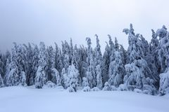 On the lawn covered with snow the nice trees are standing poured with snowflakes in frosty winter foggy morning. royalty free stock photography