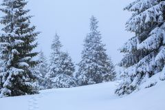 On the lawn covered with white snow there is a trampled path that lead to the dense forest in nice winter day. Stock Image