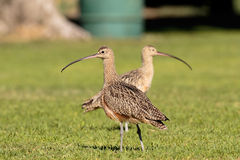 Lawn Curlew Symmetry. Two Long billed Curlews on a lawn facing in opposite directions Royalty Free Stock Photos