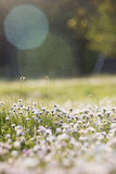 Lawn with daisies Stock Photography