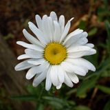Lawn Daisy -- Bellis Perennis. This magnificent sparkling white daisy, still wet with morning dew, defies the nickname Common Daisy Stock Image