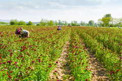 Women picking flowers on field. Woman with sweetwilliam flowers - pinks - on farmland, Germany. Farm workers on field.