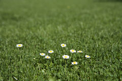 Lawn with daisy flowers Royalty Free Stock Photo