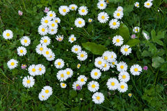 Lawn daisy royalty free stock image
