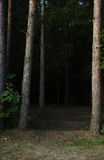 Lawn in the dark forest with a frame of coniferous trees Royalty Free Stock Image