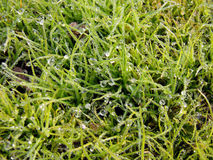 Lawn dew drops Royalty Free Stock Image