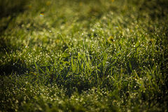 Lawn dew Royalty Free Stock Images