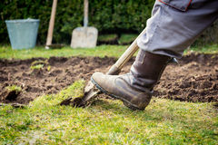 Lawn digging. Man using spade for old lawn digging Stock Images