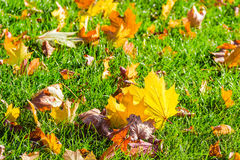 Lawn with fallen leaves Royalty Free Stock Image