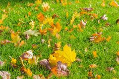 Lawn with fallen leaves Royalty Free Stock Photo