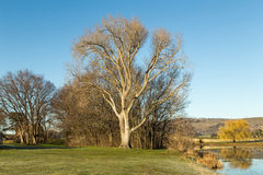 Lawn field with dry trees - winter Australia Royalty Free Stock Image