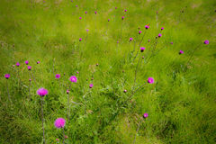 Lawn and flower. Violet flower on the green lawn Royalty Free Stock Photos