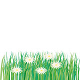 Lawn, flower, daisy, spring, summer Stock Photography