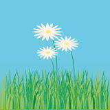 Lawn, flower, daisy, spring, summer Royalty Free Stock Images