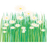 Lawn, flower, daisy, spring, summer Royalty Free Stock Photography