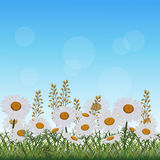 Lawn with flowers chamomile and herbs Royalty Free Stock Photo