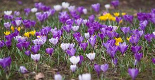 Lawn full of violet crocuses Royalty Free Stock Image