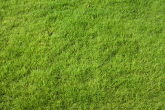 Lawn grass. Fresh lawn grass top view