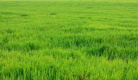 Lawn grass Stock Photography