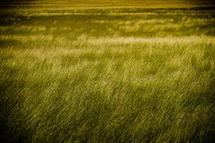 Lawn grass Royalty Free Stock Images