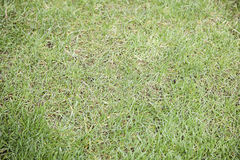 Lawn grass. Background texture in nature Royalty Free Stock Images