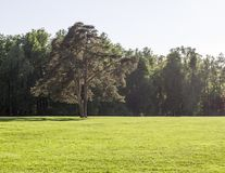 Lawn of grass with big tree on forest background. nature. Lawn of grass with big tree on forest background in spring. nature royalty free stock photo