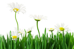 Lawn grass and daisies Stock Image