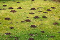 Lawn grass destroyed. Lawn, grass field or garden destroyed by a  mole, gardening concept Royalty Free Stock Photos